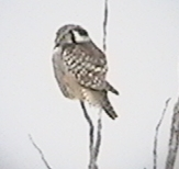 Northern Hawk-owl in the Sax-Zim Bog