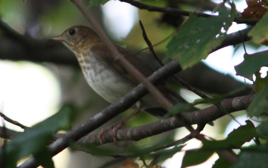 Gray-cheeked Thrush at my neighborhood preserve