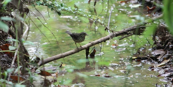 Northern Waterthrush at my neighborhood preserve