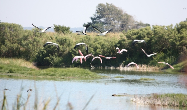 Roseatte Spoonbills and Wood Storks in flight