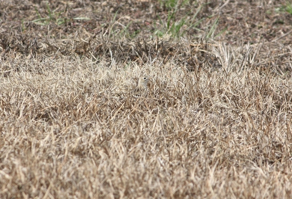 Sprague's Pipit hiding in the grass