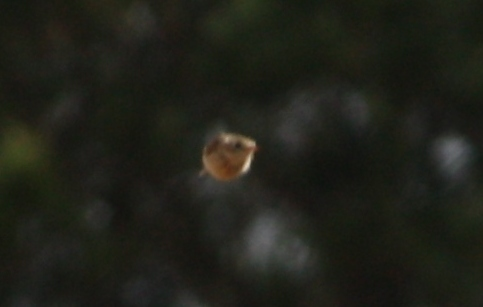 Sprague's Pipit in flight