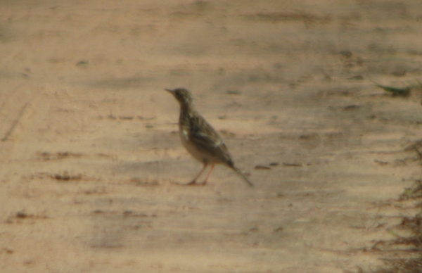 Sprague's Pipit in the road