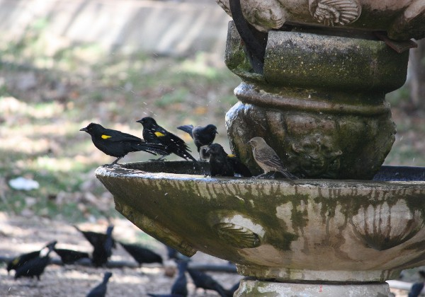 Yellow-shouldered Blackbirds on fountain