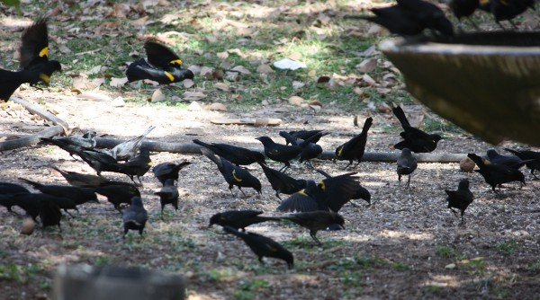 Yellow-shouldered Blackbirds landing and foraging