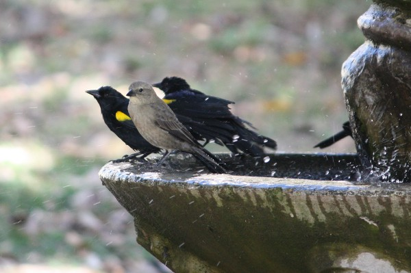 Yellow-shouldered Blackbirds and Shiny Cowbird on fountain