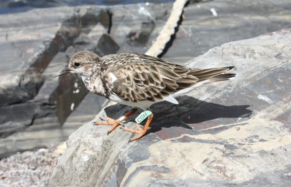 Ruddy Turnstone on St Croix